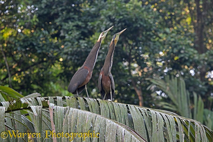 Bare-throated Tiger Heron (Tigrisoma mexicanum) pair displaying