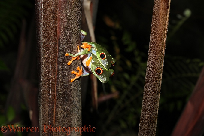 Red-eyed Tree Frog (Agalychnis callidryas) pair in amplexus