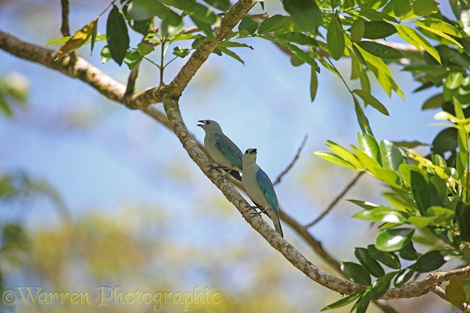 Blue-grey Tanager (Thraupis episcopus) pair panting while sheltering from the sun