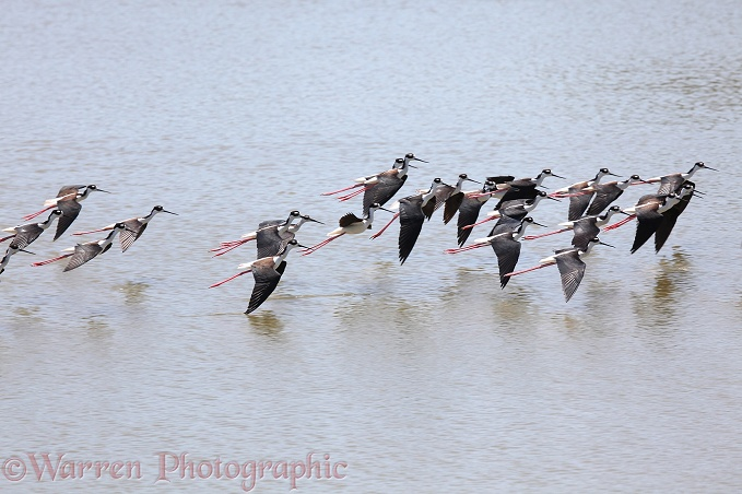 Black-necked Stilt (Himantopus mexicanus) flock over salt lagoon