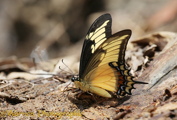 Swallowtail butterfly (Papilio species)
