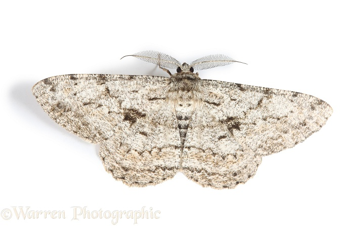 Great Oak Beauty Moth (Biston strataria), white background