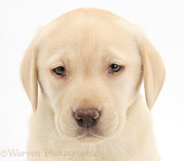 Yellow Labrador Retriever pup, 7 weeks old, white background