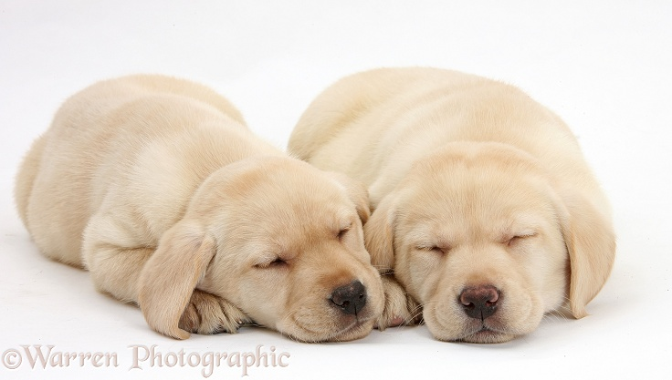 Sleeping Yellow Labrador Retriever pups, 8 weeks old, white background