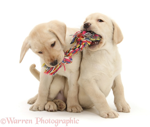 Yellow Labrador Retriever puppies playing with a ragger