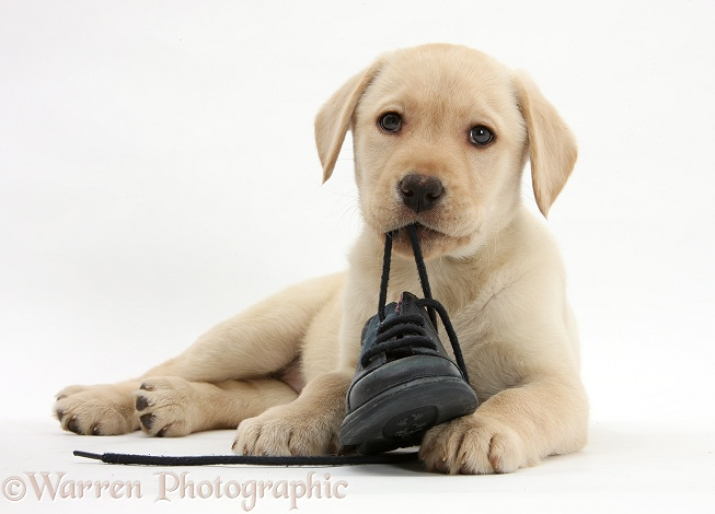 Yellow Labrador Retriever pup, 8 weeks old, chewing a child's shoe, white background