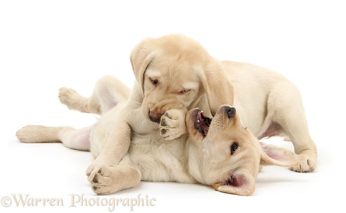 Yellow Labrador Retriever puppies, 9 weeks old, play-fighting, white background