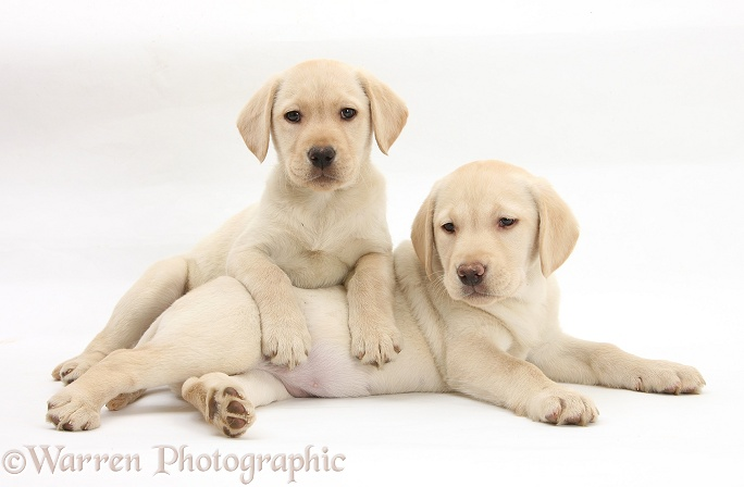 Yellow Labrador Retriever puppies, 9 weeks old, white background