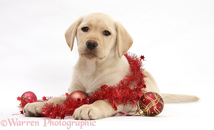Yellow Labrador Retriever bitch pup, 10 weeks old, with Christmas decorations, white background