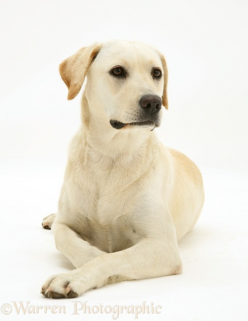 Yellow Labrador bitch, Lucy, white background