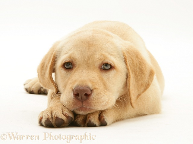 Yellow Labrador Retriever pup, with chin on paws, white background