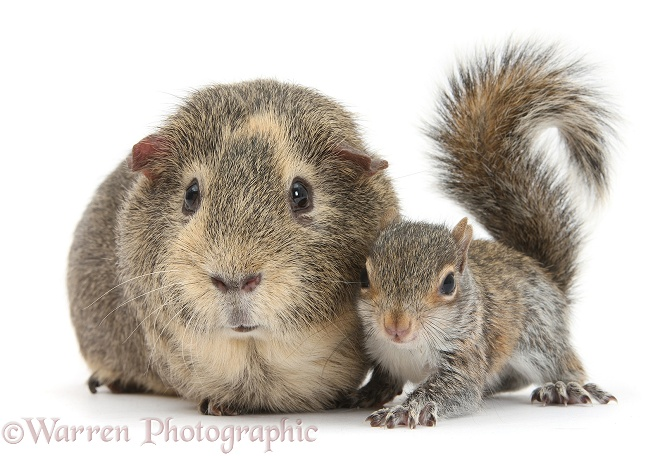 Young Grey Squirrel and Guinea pig, white background