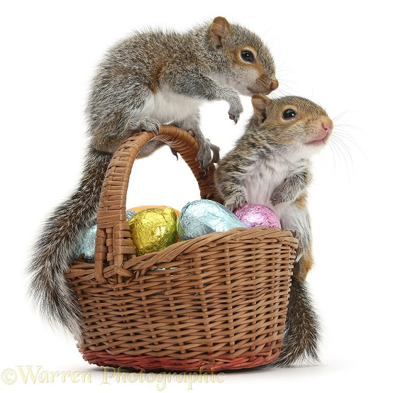 Young Grey Squirrels (Sciurus carolinensis) with wicker basket of Easter eggs, white background