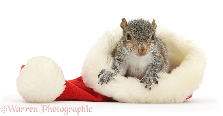 Young Grey Squirrel (Sciurus carolinensis) in a Father Christmas hat, white background