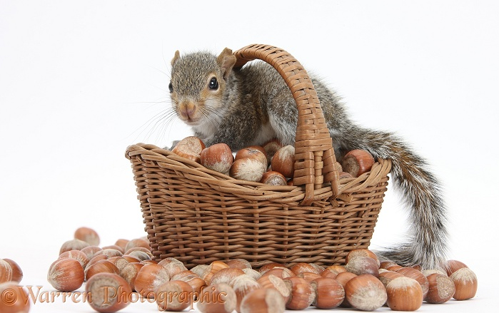 Young Grey Squirrel (Sciurus carolinensis) with wicker basket of hazel nuts, white background
