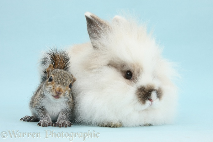 Young Grey Squirrel and fluffy rabbit on blue background
