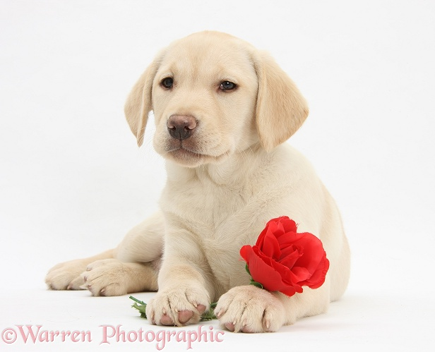 Yellow Labrador Retriever bitch pup, 10 weeks old, lying with a red rose, white background