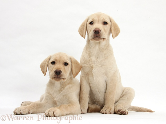 Yellow Labrador Retriever puppies, 10 weeks old, white background