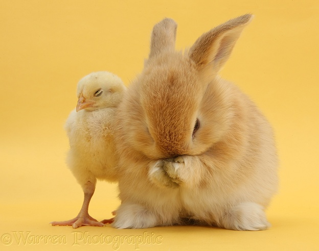 Sandy rabbit washing himself beside yellow bantam chick on yellow background