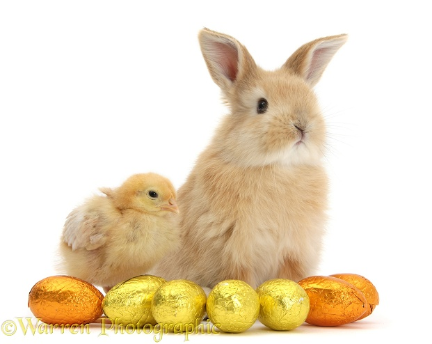 Sandy rabbit and yellow bantam chick with Easter eggs, white background