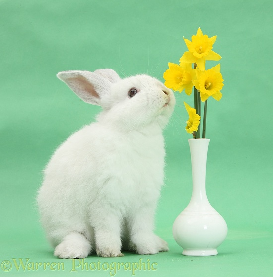 Young white rabbit eating daffodils from a vase on green background