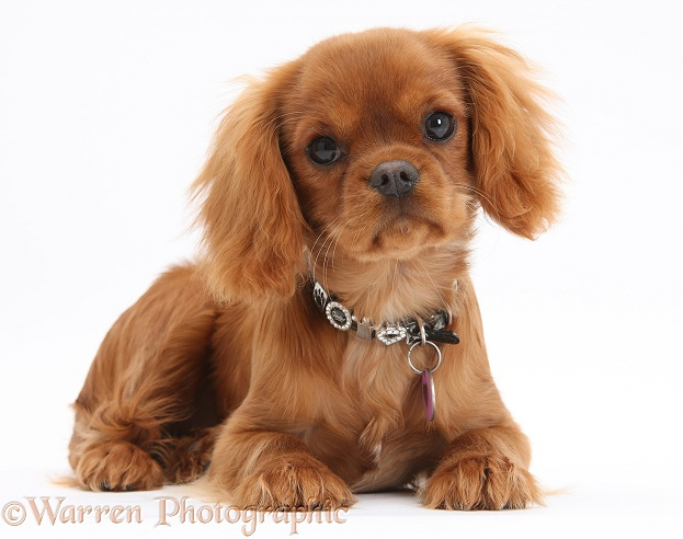 Ruby Cavalier King Charles Spaniel pup, Flame, 12 weeks old, wearing a fancy collar, white background
