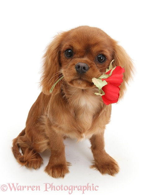Ruby Cavalier King Charles Spaniel pup, Flame, 12 weeks old, holding a red rose, white background