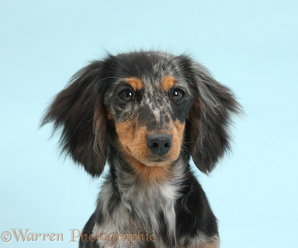 Tricolour merle Dachshund, Puzzel, 6 months old, on blue background