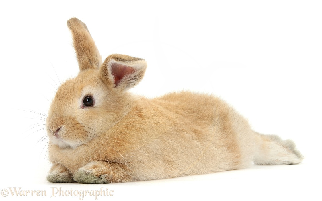 Sandy rabbit lying stretched out, white background