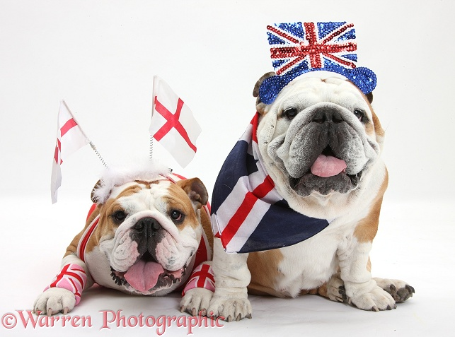 British Bulldogs in union jack and England costume, white background