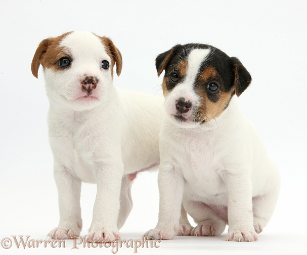 Two Jack Russell Terrier puppies, 4 weeks old, white background
