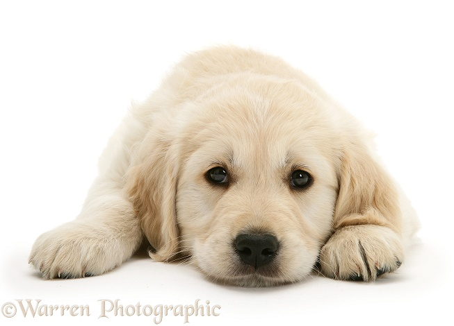 Golden Retriever pup lying with chin on the floor, white background