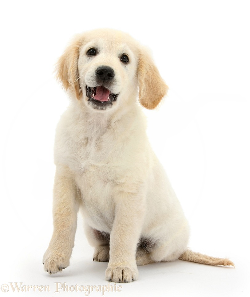 Golden Retriever dog pup, Oscar, 3 months old, sitting, white background