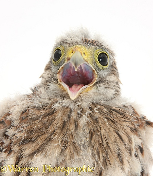 Baby Kestrel (Falco tinnunculus) chick, white background