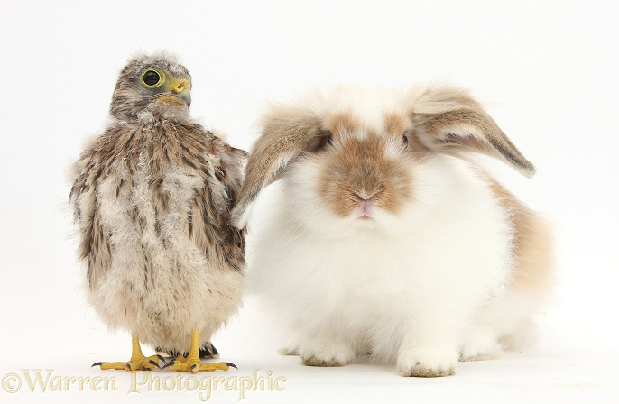 Baby Kestrel (Falco tinnunculus) chick and young brown-and-white rabbit, white background