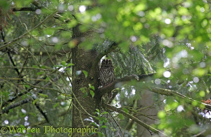 Tawny Owl (Strix aluco) roosting in Douglas Fir during daylight