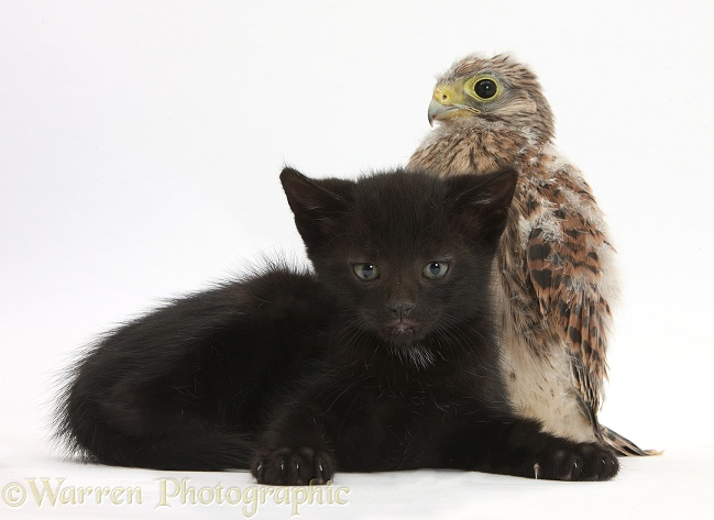 Baby Kestrel (Falco tinnunculus) chick and black male kitten, Buxie, 6 weeks old, white background