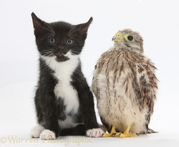 Baby Kestrel (Falco tinnunculus) chick with black-and-white kitten, 6 weeks old, white background