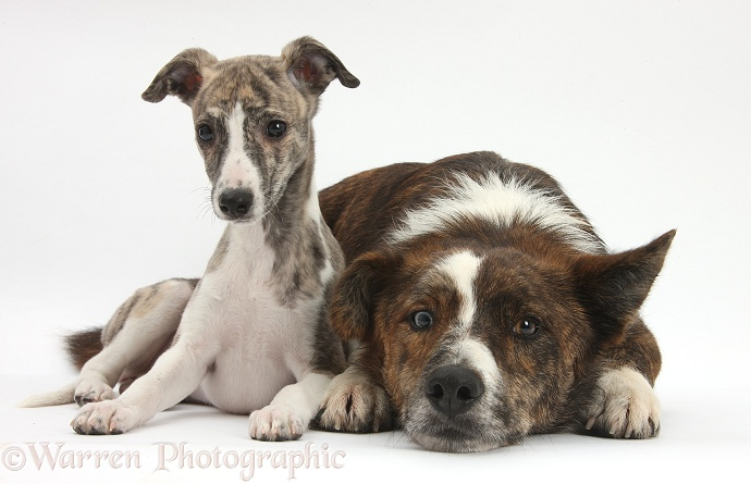 Brindle-and-white Whippet pup, Cassie, 9 weeks old, with mongrel dog, Brec, white background