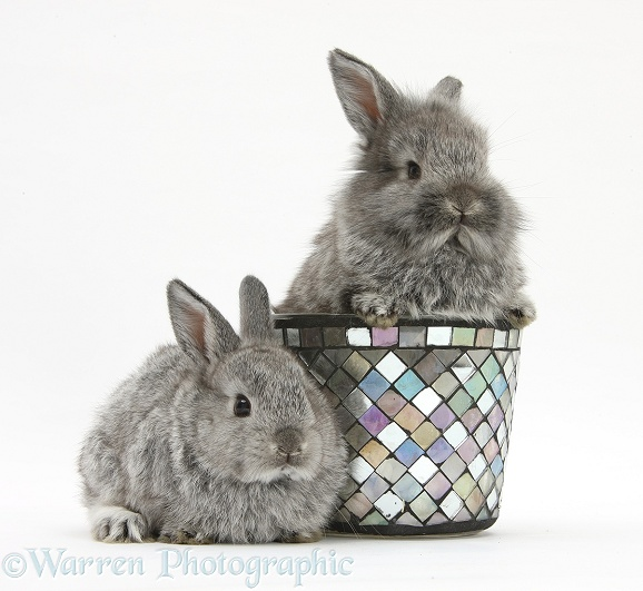 Young Silver Lionhead rabbits and decorative flowerpot, white background