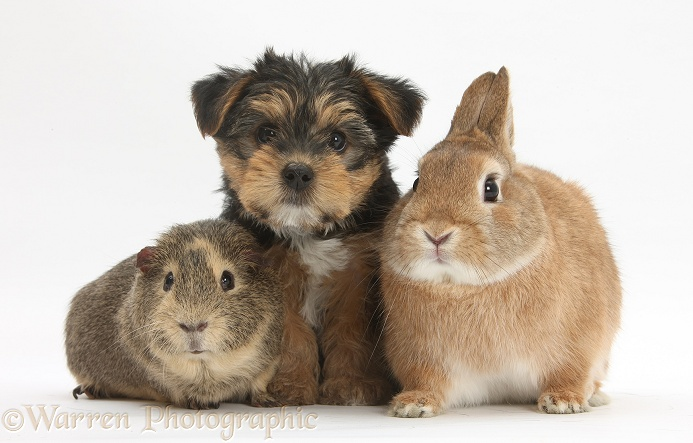 Yorkie pup with rabbit and Guinea pig