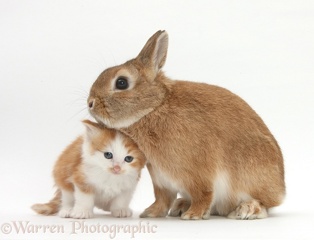Ginger-and-white kitten with Sandy Netherland dwarf-cross rabbit, Peter, white background