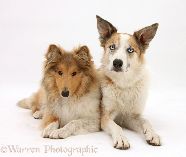 Rough Collie, Laddie, 5 months old, and Sable Border Collie, Zebedee, white background