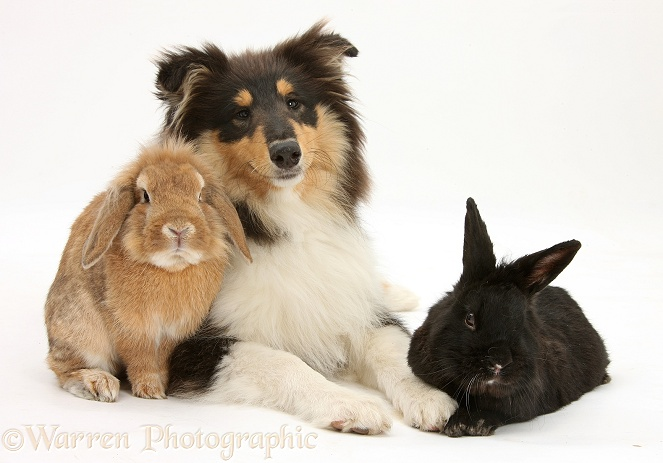 Rough Collie, Flynn, 5 months old, with two rabbits, white background