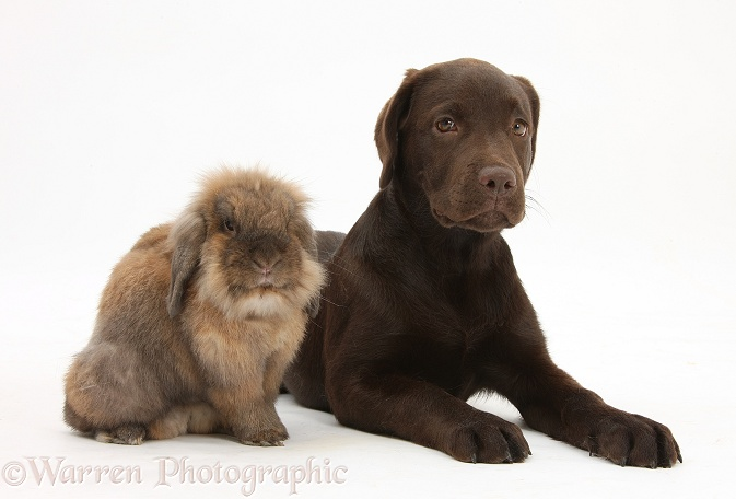 Chocolate Labrador pup, Inca, and Lionhead-cross rabbit, white background