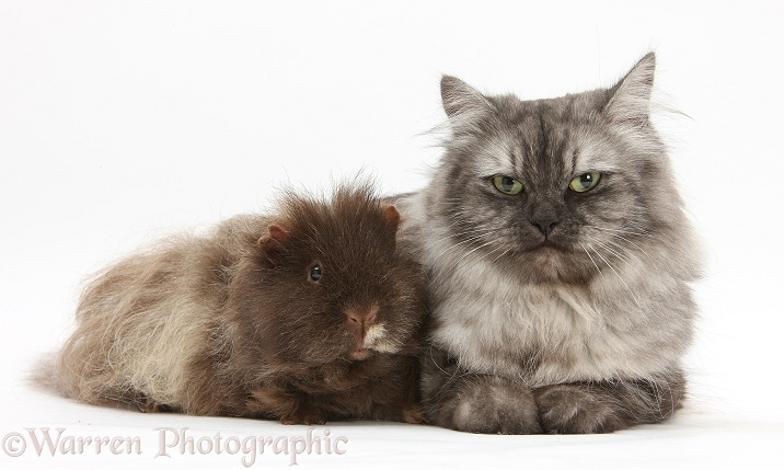 Persian x Birman female cat, Forrest, 2 years old, with Guinea pig, white background