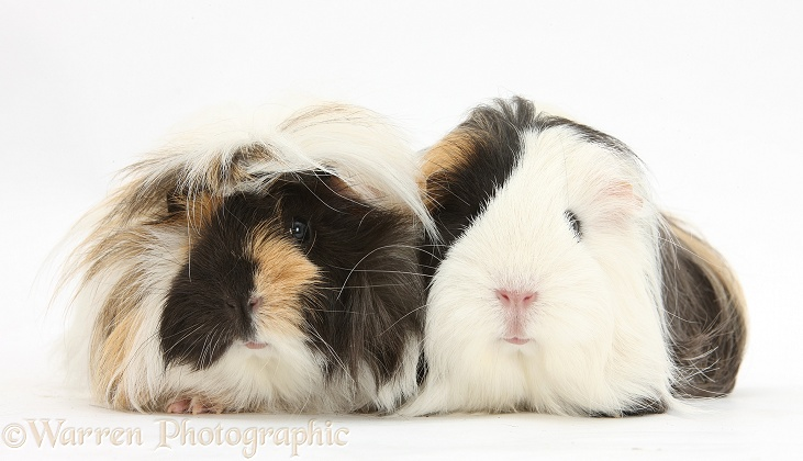 Long-haired Guinea pigs, white background