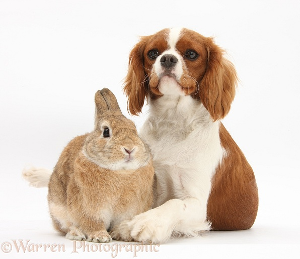 Cavalier King Charles Spaniel bitch, Sadie, 1 year old, with Sandy Netherland-cross rabbit, Peter, white background