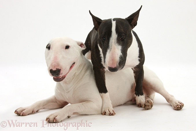 Miniature Bull Terrier bitch, Lily, and dog, Noah, white background