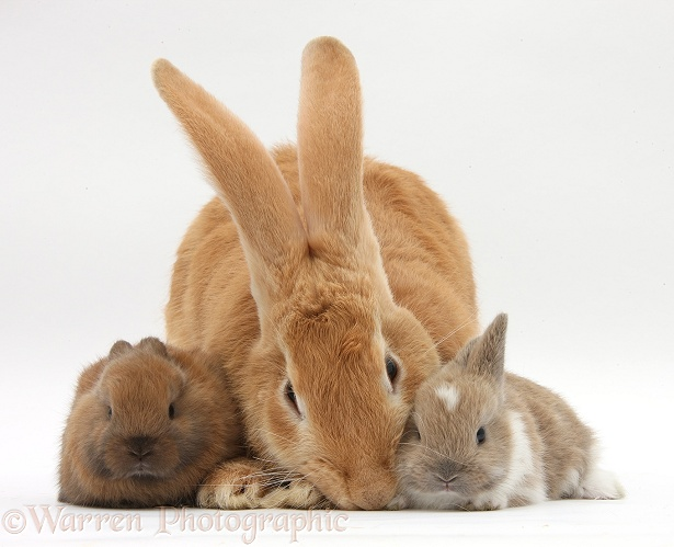 Flemish Giant Rabbit, Toffee, and baby Netherland dwarf-cross rabbits, white background